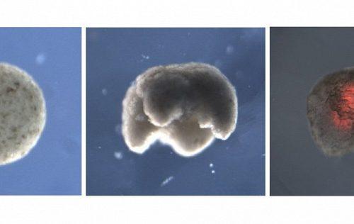 Созданы первые в мире живые биороботы